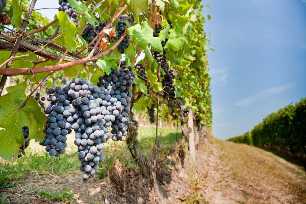 Vineyards in Isola del Giglio