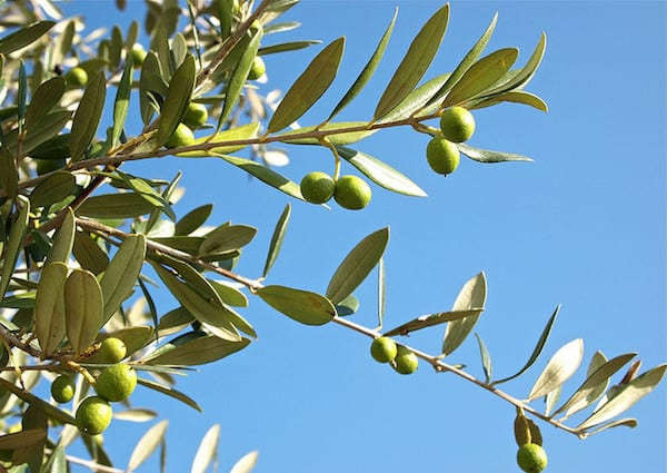 All About Olive Oil (and How to Choose the Best!)